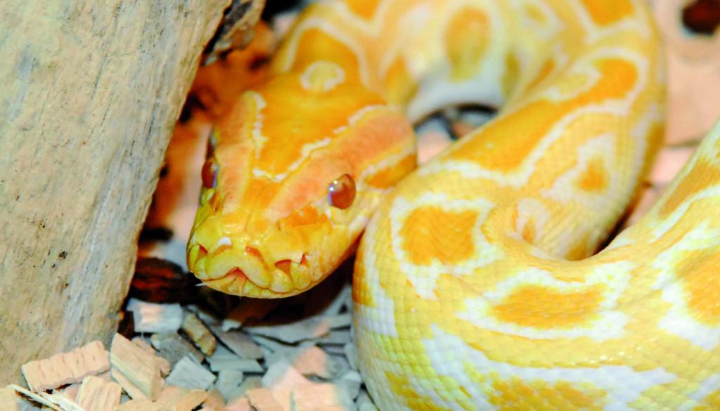 Tiger-Python Amanda