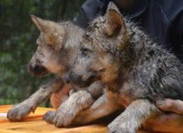 Wieder Wolfsnachwuchs im Wildpark Schwarze Berge